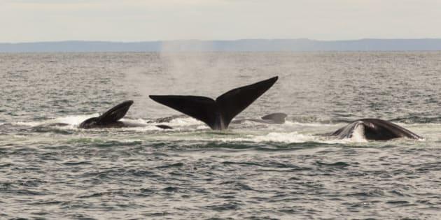 Mating North Atlantic Right Whales,  Eubalaena glacialis,  Grand Manan Basin, Bay of Fundy, New Brunswick, Canada