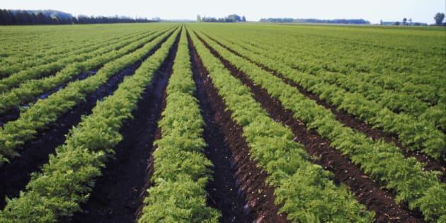 Rows of lettuce growing in field