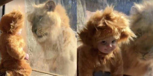 El Cara A Cara Más Tierno Entre Dos Leones El Del Zoo Y Este Bebé
