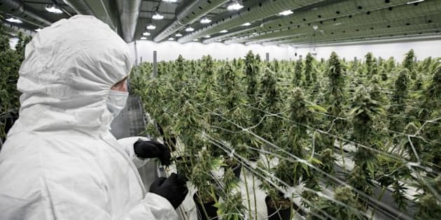 An employee inspect medicinal marijuana plants inside the flowering room at Tweed INC., in Smith Falls, Ontario, on Monday December 5, 2016. / AFP / Lars Hagberg        (Photo credit should read LARS HAGBERG/AFP/Getty Images)