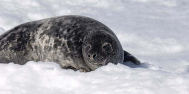 Grey Seal (Halichoerus grypus), is also known as Atlantic Grey Seal and Horsehead Seal, and is a member of the family Phocidae (Earless Seal, True Seal), Pinniped. off the coast of the Magdalen Islands, Gulf of Saint Lawrence, Quebec, Canada