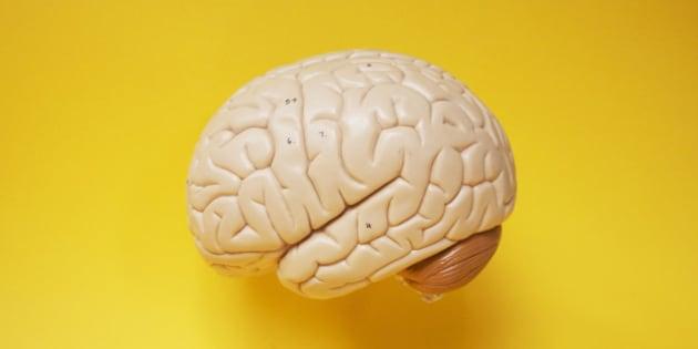 Model Brain side profile.