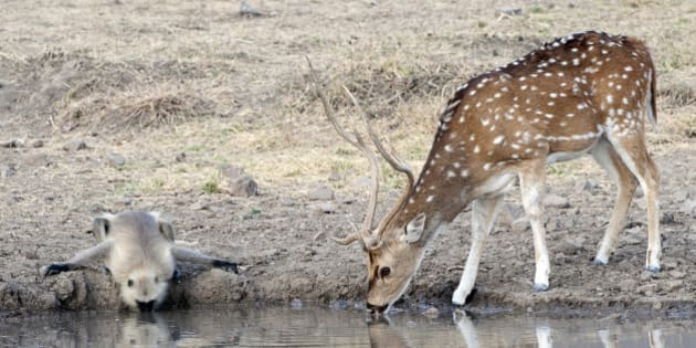 Black-faced Lungour monkey drinks water in unison with a Chital spotted deer  from a waterhole in which they are reflected, Ranthambore, Rajasthan, India