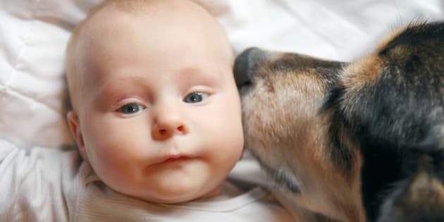 A friendly family German Shepherd dog is laying on a blanket with a two month old newborn baby, kissing her on the cheek.