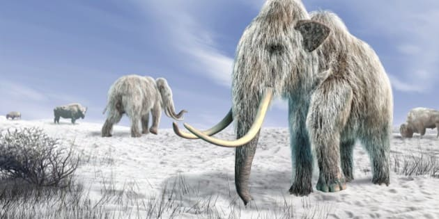 Woolly mammoths. Computer artwork of woolly mammoths (Mammuthus primigenius) and bison (Bison bison) in a snow-covered field.
