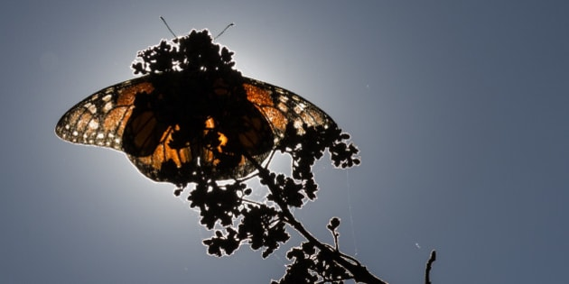 ANGANGUEO, MEXICO - DECEMBER 18: A monarch butterfly rests on a plant at the Sierra Chincua sanctuary on December 18, 2015 in Angangueo , Mexico. The number of monarch butterflies reaching their wintering grounds in central Mexico this year may be three or four times higher than the previous year, according to environmental authorities. (Photo by Miguel Tovar/LatinContent/Getty Images)