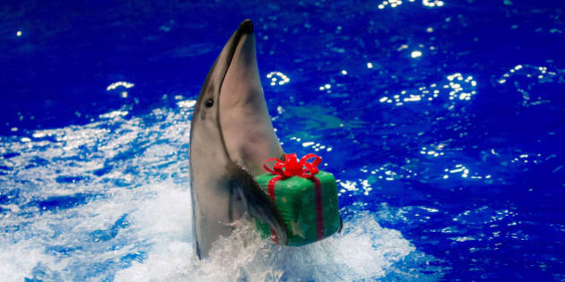 A dolphin moves to return a parcel to its trainer during a special Christmas show at the Shinagawa Aqua Stadium in Tokyo December 23, 2014.  REUTERS/Thomas Peter (JAPAN - Tags: ANIMALS SOCIETY TPX IMAGES OF THE DAY)