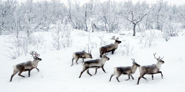 Wild reindeers in snow near Kilpisjarvi.