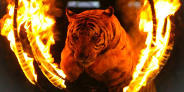 Tiger jumping through a burning ring