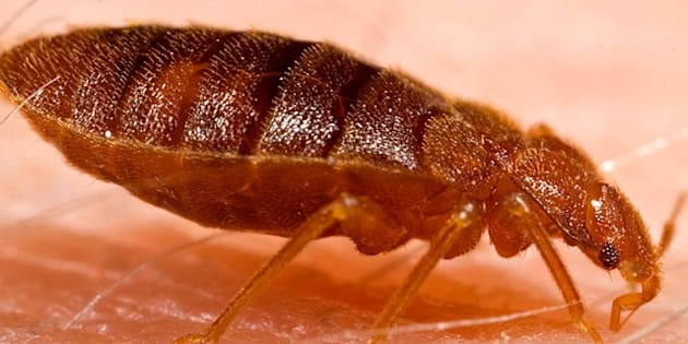 Although some disease organisms have been recovered from bed bugs under laboratory conditions, none have been shown to be transmitted by  ...