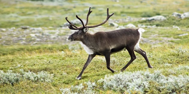 Un fr:Renne | renne , aussi appelé fr:Renne | caribou  (Rangifer tarandus) dans la vallée du fr:Kebnekaise | Kebnekaise , dans les fr:Alpes ...