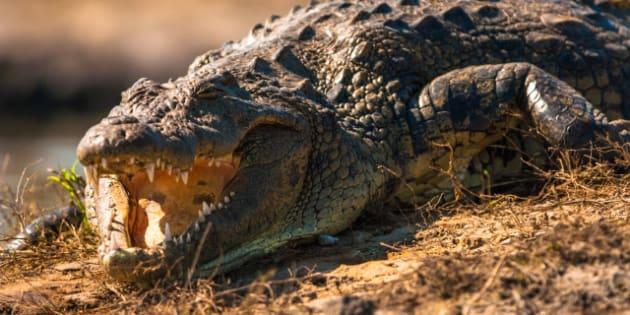 crocodile baring teeth  chobe...