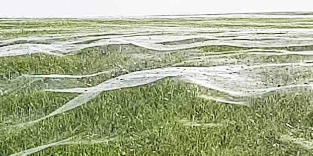 Layers of spider webs cover a field in New Zealand