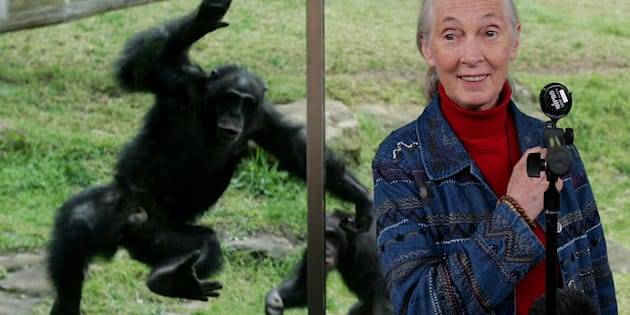 A Chimpanzee jumps at a glass screen as primatologist Dr. Jane Goodall holds a press conference at Taronga Zoo July 14, 2006 in Sydney, Australia.