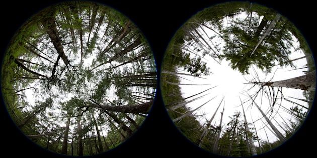 Yellow cedar trees are shown in abundance in Glacier Bay National Park, left. The image on the right, south of the park inthe Tongass National Forest, reveals the impact climate change on this tree.