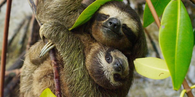 A pygmy sloth family has never looked so cute