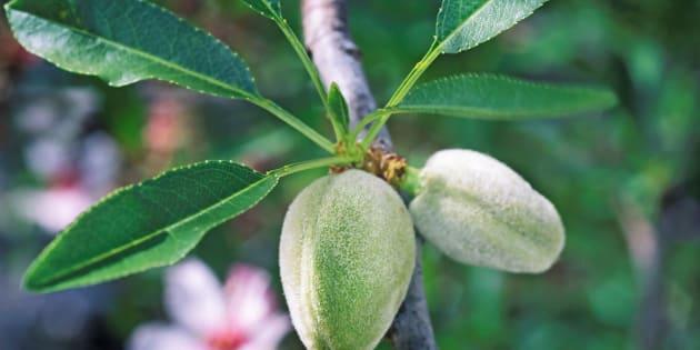 Unripe almond fruit hangs on a tree.