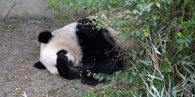 Giant panda Mei Lun sleeps at Chengdu Research Base of Giant Panda Breeding on Nov. 16.
