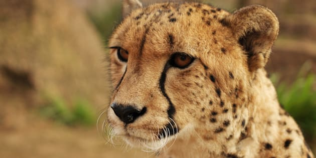 A new report highlights the need for more conservation efforts for cheetahs.