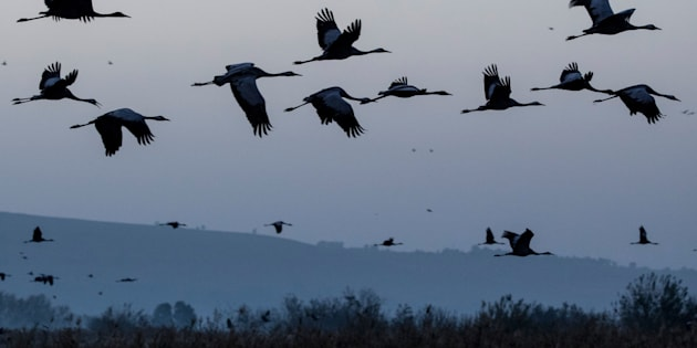 Gray cranes are seen flocking at the Agamon Hula Lake in northern Israel on December 7, 2016.