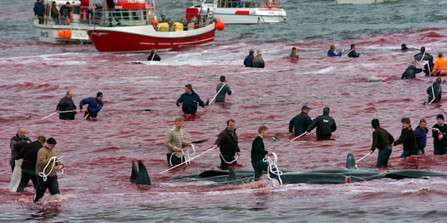 Local residents catch and slaughter whales near the town of Hvalvik, May 23, 2009. More than 180 pilot whales (Globicephala melaena) were killed in the small town of Hvalvik during the traditional whale killing In Faroe Islands. Residents of the Faroe Islands, an autonomous province of Denmark, slaughter and eat pilot whales every year. The Faroese are descendents of Vikings, and pilot whales have been a central part of their diet for more than 1,000 years. They crowd the animals into a bay and kill them. The Faroese aren?t involved in commercial whaling, they don't sell the meat, instead it is divided evenly to the local community. Picture taken May 23, 2009.   REUTERS/Andrija Ilic     (FAROE ISLANDS ANIMALS ENVIRONMENT)
