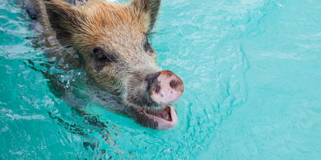 One of the famous swimming pigs in 2012.