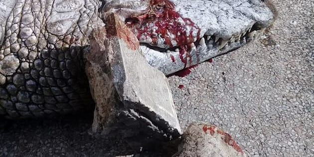 Crocodile lies dead at Tunis zoo after visitors pelted it with rocks