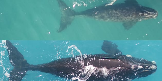For the first time southern right whales have been snapped by drones.