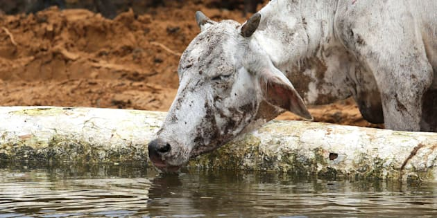 A cow  smeared in dirt and mud sips water after being rescued by Officials of anti corruption bureau along with cow service volunteers.