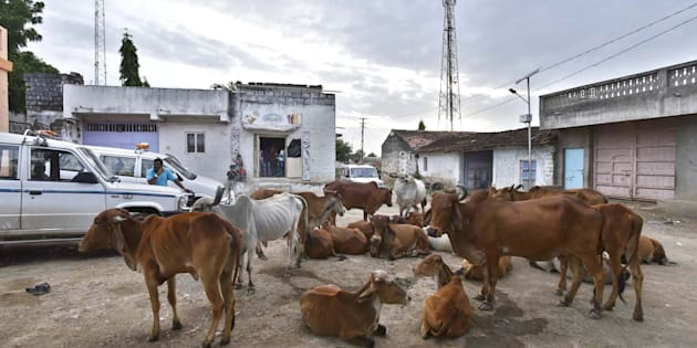 Herd of cow seen resting at Mota Samadhiyala village in Una, India.
