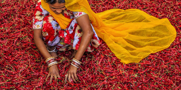 Young Indian woman sorting red chilli peppers near Jodhpur.