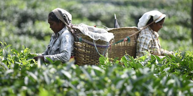 In this photograph taken on June 3, 2016, Indian tea plantation workers pick leaves in a tea garden in Kaziranga, some 250kms east of Guwahati.