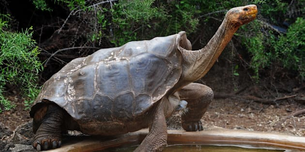 Tortoise 'Diego' in Santa Cruz Island.