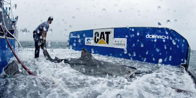Maroochy the tiger shark is tagged by OCEARCH crew in 2015.