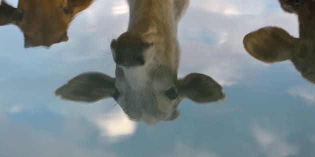 In this photograph taken on November 5, 2015, cows are reflected at a cow shelter owned by Babulal Jangir, a rustic self-styled leader of cow raiders, and Gau Raksha Dal (Cow Protection Squad) in Taranagar in Rajasthan.