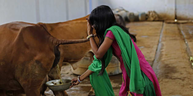 Attendant Susheela Kumari collects urine at a cow shelter where urine is processed in Bulandshahar, Uttar Pradesh, India, on Friday, June 17, 2016. Urine from India's indigenous Bos indicus cows, which are considered sacred by Hindus, is a hot commodity. That's thanks in large part to Prime Minister Narendra Modi, who's introduced programs over the past two years to protect the milk-producing animals and support industries derived from their waste. Photographer: Anindito Mukherjee/Bloomberg via Getty Images