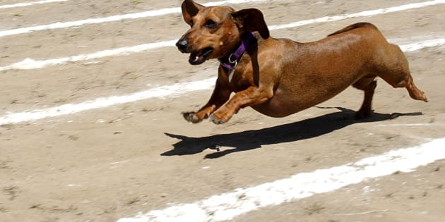 Sausage dogs races have taken centre stage in Melbourne.