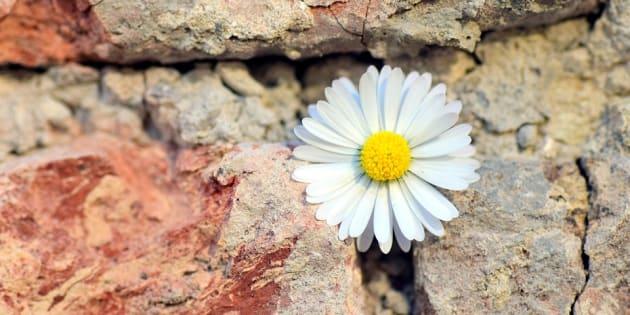 https://pixabay.com/fr/fleur-marguerite-wall-mur-de-pierre-2401131/