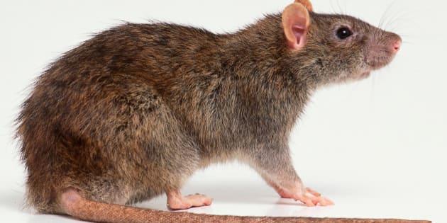 le rat voisin mal aim des citadins racont dans le livre dans les murs le huffington post. Black Bedroom Furniture Sets. Home Design Ideas