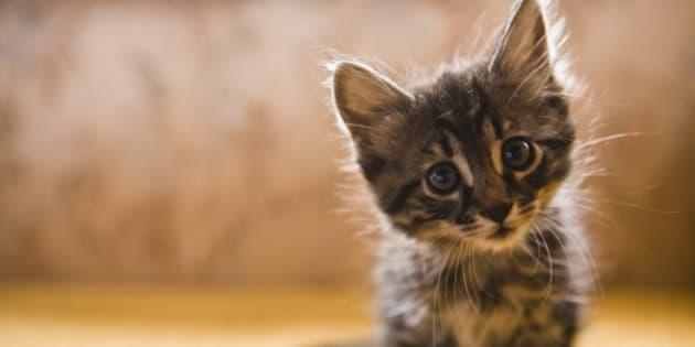Comprar gato de pelo corto ingles