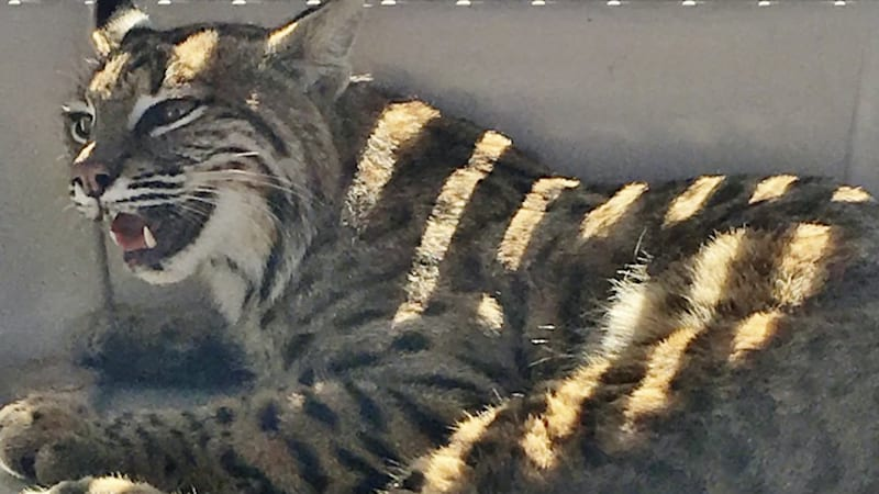 Woman puts injured bobcat in car — next to her toddler