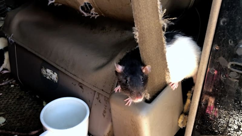 Over 300 rats extracted from ratty 1990s Dodge Ram van