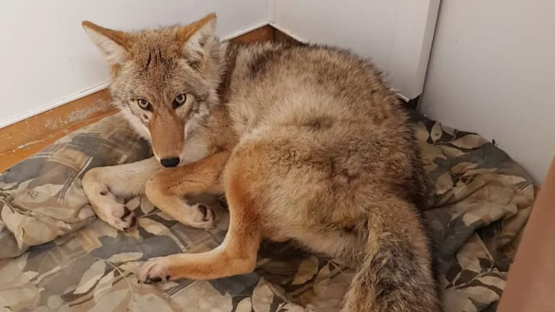 Man finds 30-pound coyote behind the wheel of his car