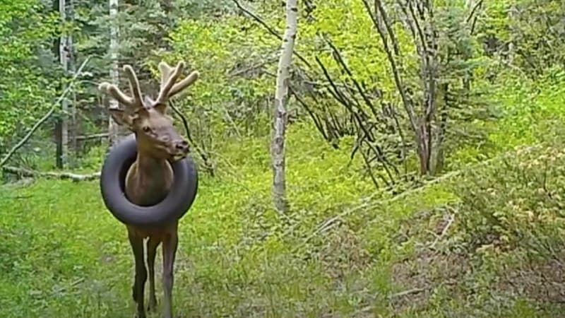 Wild deer that lived for 2 years with a tire around its neck freed