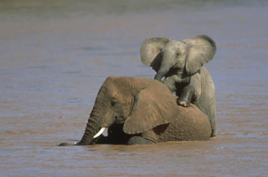 african elephants: loxodonta africana in river ewaso-ngiro samburu nr, kenya
