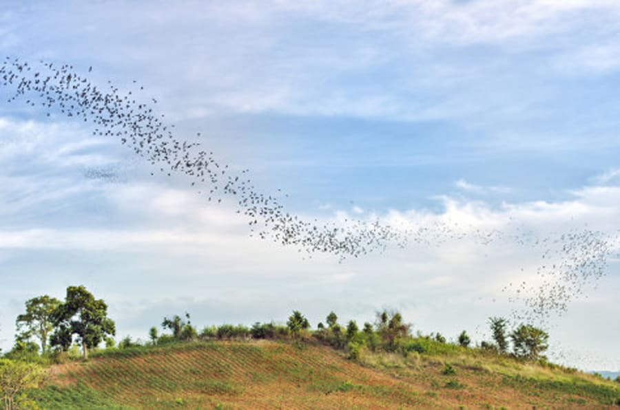 This is a horizontal, color photograph of the bat migration over the scenic landscape in Khao Yai National Park located in Nakhon Ratchasima, Thailand.