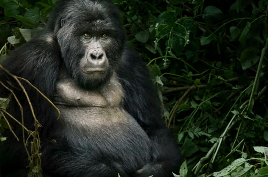 """Mgahinga Gorilla National Park is located in the southwestern corner of Uganda. The Park covers the northern slopes of the three northernmost Virunga Volcanoes: Mt. Muhavura (4,127 m), Mt. Gahinga (3,474 m), and Mt. Sabinyo (3,645 m). The Park is about 10 km south of Kisoro and is bordered to the south by the Republic of Rwanda and to the west by the Democratic Republic of Congo. Each of these countries protects its own portion of the Virungas, in the Parc National des Volcans and Parc National des Virunga respectively. The three parks together form the 434-sq. km. 'Virunga Conservation Area' or VCA. Mgahinga is 33.7 sq. km, just 8% of the VCA. The entire Park is in Bufumbira County of Kisoro District.  From far away, the huge cones of the Virunga volcanoes dominate the landscape and beckon you as you approach. When you reach the park you can get a great overview of the area by walking up the viewpoint, just 15 minutes from Ntebeko Gate. Mgahinga Park has great biological importance because throughout the climatic changes of the Pleistocene ice ages, mountains such as these provided a refuge for mountain plants and animals, which moved up or down the slopes as climate became warmer or cooler. The Virungas are home to a large variety of wildlife, including about half the world's critically endangered mountain gorillas.  <a href=""""http://www.uwa.or.ug/mgahinga.html"""" rel=""""nofollow"""">www.uwa.or.ug/mgahinga.html</a>"""