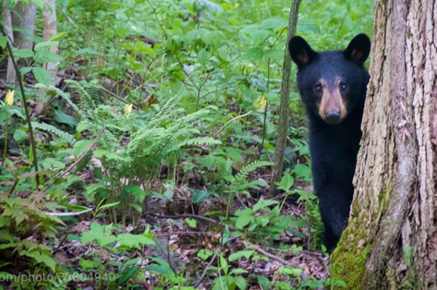 A bear cub plays peek-a-boo in the Great Smoky Mountains.