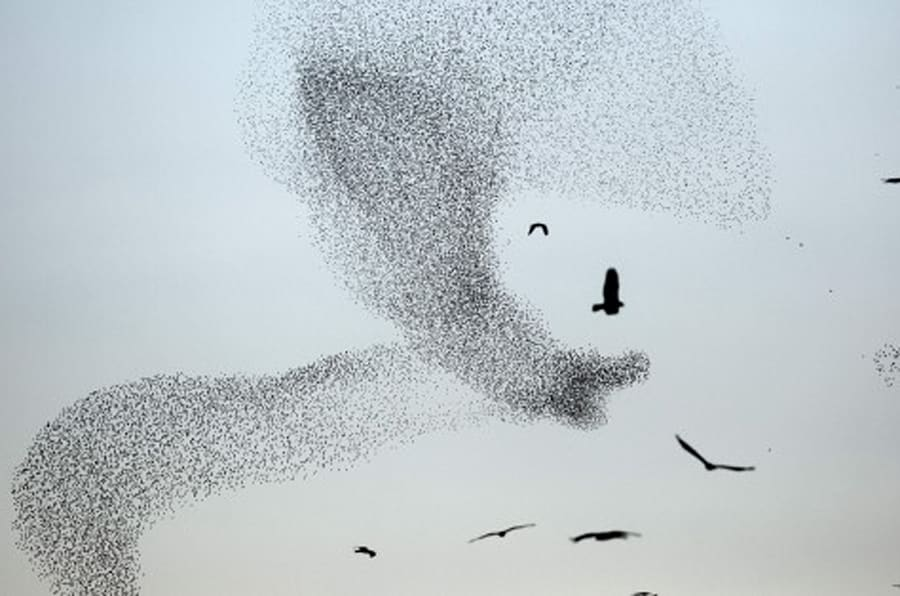 A picture taken on January 4, 2015 shows a murmuration of starlings performing their traditional dance fly before landing to sleep near the southern Arab Israeli city of Rahat, in the northern Israeli Negev desert. AFP PHOTO / MENAHEM KAHANA / AFP / MENAHEM KAHANA        (Photo credit should read MENAHEM KAHANA/AFP/Getty Images)