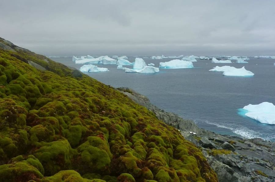 Moss, as seen on thisbank on Green Island in the Antarctic Peninsula,has been growing in the region at a dramatically faster rate in the past 50 years, according to a studypublished last week.